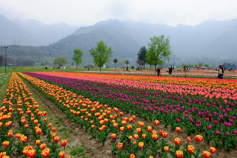 25-tulipa-min