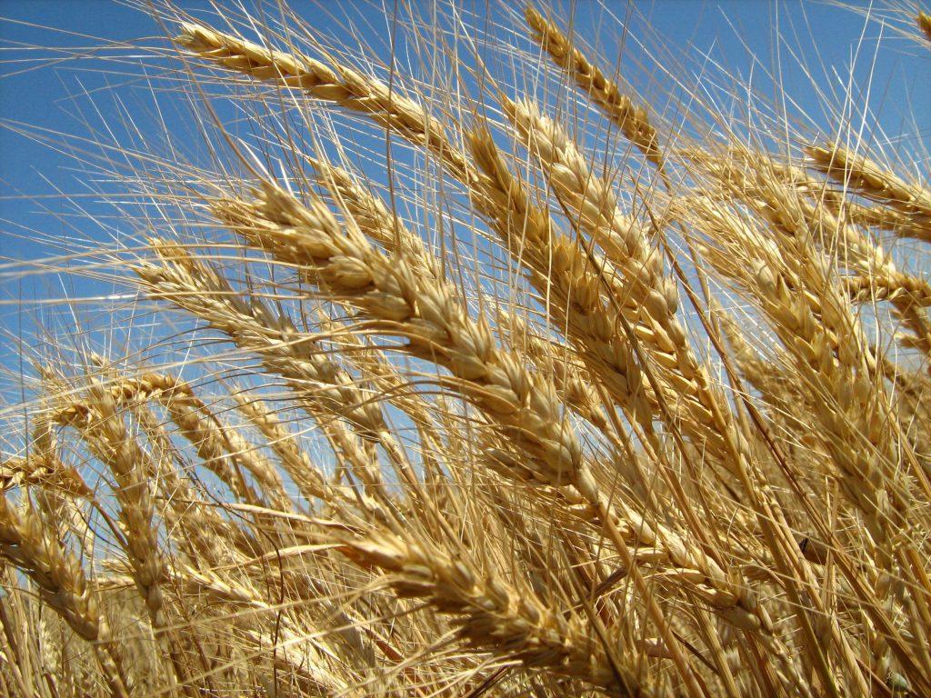 28 manfaat menakjubkan dari gandum untuk kulit dan kesihatan
