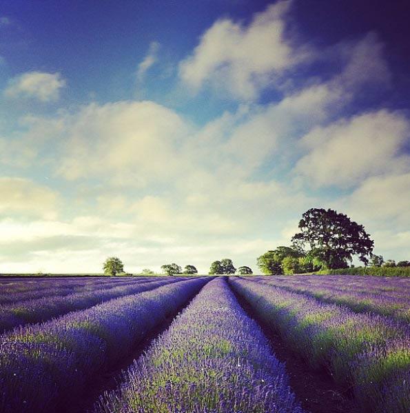 somerset-lavender