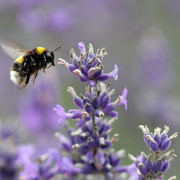 vauxhall-park-lavender