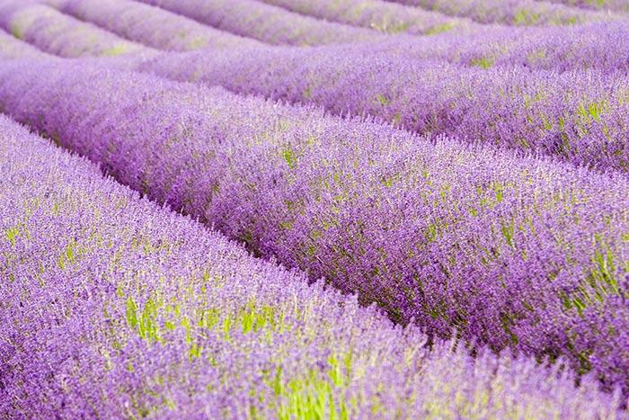 Yorkshire-lavender-field