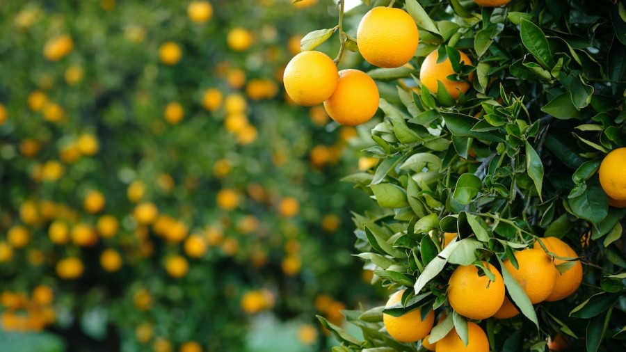 How to Sprout and Grow Orange Trees: 5 Gardening Tips - 2020 - MasterClass